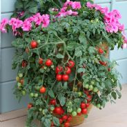 Tomato - Tumbling Tom Red 10 seeds
